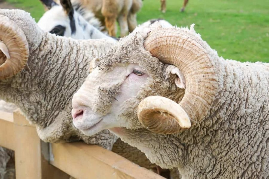 Merino sheep on the farm